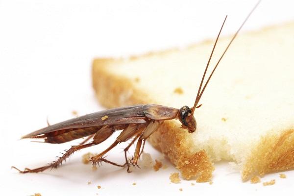 Борьба с тараканами народными средствами