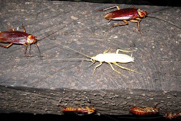 Белый таракан в квартире- что это и чем опасен