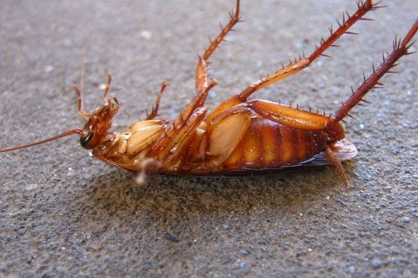 Личинки прусаков