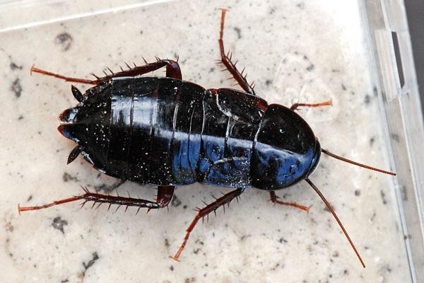 Большой черный таракан