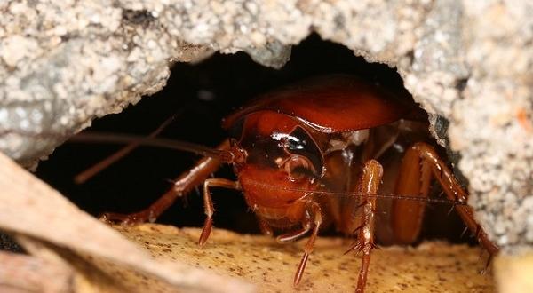 Рыжий таракан в доме