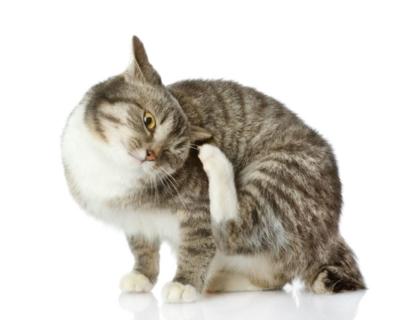 Что делать, если у кота аллергия на блох: симптомы заболевания, лечение и профилактика