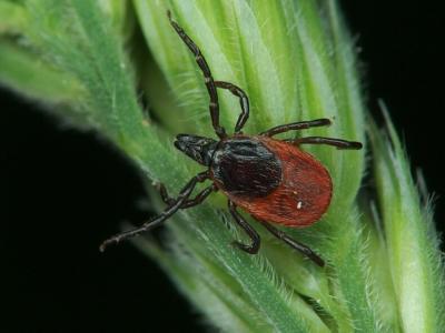 Жуткий исход от укуса лесного клеща: все о насекомом и последствиях от встречи для человека