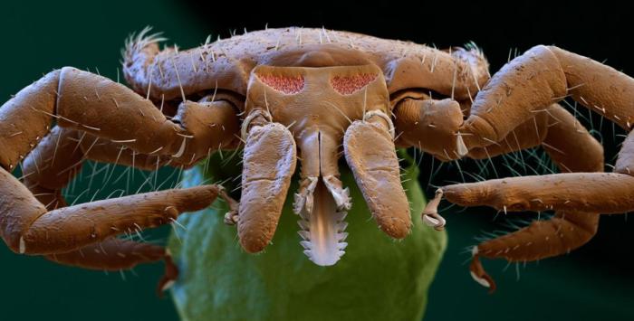 Все, что нужно знать о животных клещах: как выглядят, где обитают, чем опасны, как защититься и лечить укусы?